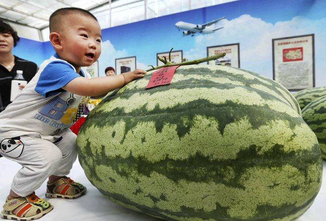 A child touches the biggest watermelon on display during an annual watermelon festival in Daxing district in Beijing, China, May 25, 2015. The biggest watermelon on the festival weighs about 84 kilograms (185lbs), local media reported. (Photo by Reuters/China Daily)