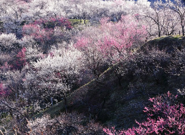 """""""Explosion"""". Japanese feel the coming of spring I feel by plum blossoms. There is a culture of the cherry blossoms in spring in Japan. It is said was said implication to appreciate the cherry tree is strong now, but to mean plum Speaking of flowers in the Nara period of approximately 1300 before. (Photo and caption by Hideyuki Katagiri/National Geographic Traveler Photo Contest)"""