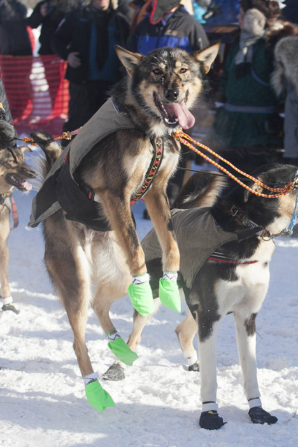 A member of Allen Moore's dog team can't contain his excitement at the start of the 45th Iditarod Trail Sled Dog Race in Fairbanks, Alaska, Monday, March 6, 2017. (Photo by Ellamarie Quimby/AP Photo)
