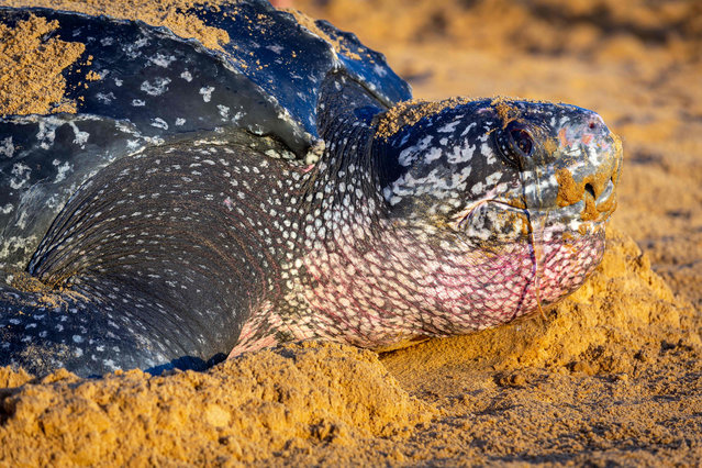 A leatherback sea turtle, also known as the Luth turtle, lays eggs under the supervision of Kwata association members on a beach in Remire-Montjoly, French Guiana, on July 4, 2019. (Photo by Jody Amiet/AFP Photo)