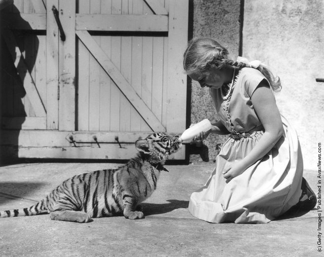 1963: 11-year-old Penny Moon, winner of the Knowledge Essay Competition, feeding Suki the tiger cub at London Zoo