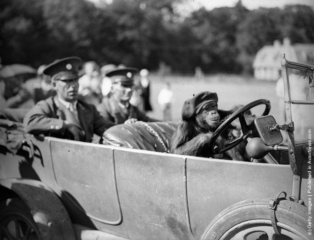 10th August 1933:  Bella the chimpanzee from Whipsnade Zoo gets behind the wheel