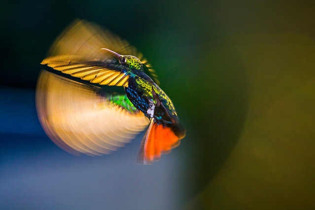 Flying over sunshine by Kristhian Castro in Cali, Valle del Cauca, Colombia. This photo captures the stunning greens, blues and oranges of the Anthracothorax nigricollis hummingbird as it flies during sunset. Members of this family of birds can flap their wings up to 75 times per second. At faster shutter speeds (1/200sec) the wings appear static, so Kristhian used the setting sun as a backdrop to capture its movement. (Photo by Kristhian Castro/2019 Royal Society of Biology Photography Competition)