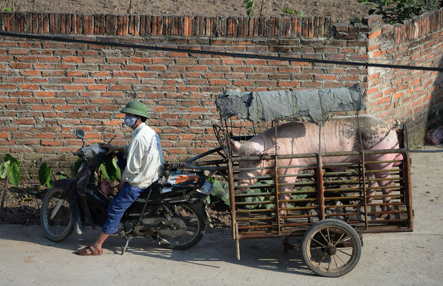 This picture taken on March 1, 2016 shows a man running a mobile pig mating service and waiting outside a customer's home with his male pig in a cage pulled behind his motorcycle in the northern province of Bac Ninh. (Photo by Hoang Dinh Nam/AFP Photo)