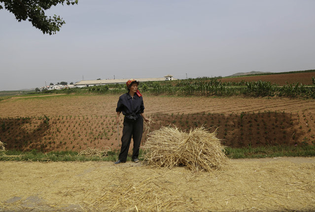 In this June 24, 2015, photo, a farmer stands in front of a field in South Hwanghae, North Korea. There has been almost no rain in this part of the country, according to farmers and local officials interviewed by The Associated Press. While the situation in the area that the AP visited looks grim, it is unclear how severe the drought is in the rest of the country. (Photo by Wong Maye-E/AP Photo)
