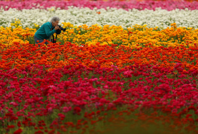 On the first day of Spring a women crouches down to take a photograph of Giant Tecolote Ranunculus flowers at the Flower Fields in Carlsbad, California, U.S., March 20, 2017. (Photo by Mike Blake/Reuters)