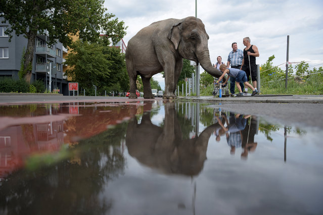Elephant Maja of Circus Bush on his daily walk with Circus ringmaster Hardy Scholl (R) on Berlin streets in Berlin, Germany June 30, 2016. (Photo by Stefanie Loos/Reuters)