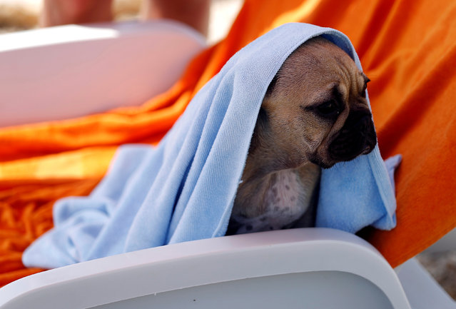 A dog is seen covered with a towel at dog beach and bar in Crikvenica, Croatia, July 12, 2016. (Photo by Antonio Bronic/Reuters)
