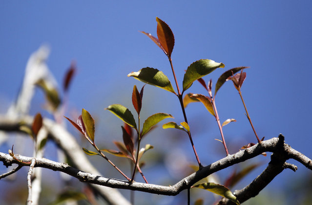 Khat grows on a tree at a plantation in Maua, near Meru, eastern Kenya August 20, 2014. (Photo by Thomas Mukoya/Reuters)