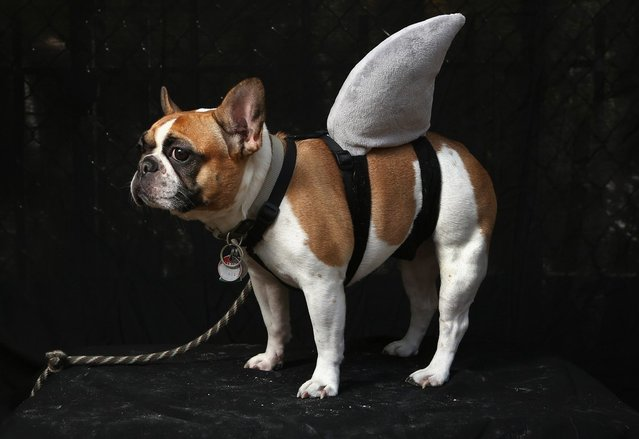 Hudson, a French bulldog, poses as a shark at the Tompkins Square Halloween Dog Parade on October 20, 2012 in New York City