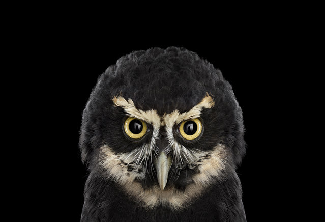 Spectacled Owl. (Photo by Brad Wilson/Caters News)