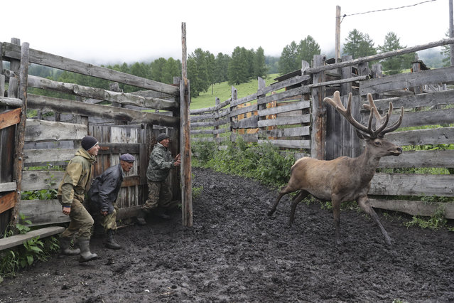 Breeders bring red deer with antlers big enough to be cut out into a fold at the Nizhne-Uimonsky breeding farm in the Ust-Koksa District in Altai Republic, Russia on June 22, 2020. (Photo by Kirill Kukhmar/TASS)