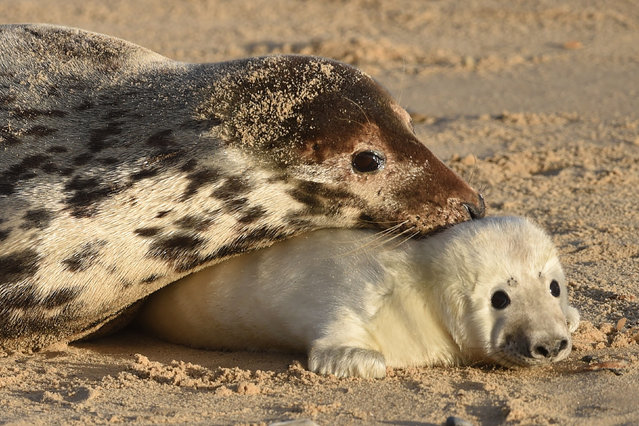A grey seal and her pup on the beach at Horsey Gap, near Great Yarmouth, in Norfolk, England on December 15, 2017. This year a record number of grey seal pups were born at the east coast beach. (Photo by Joe Giddens/PA Wire)
