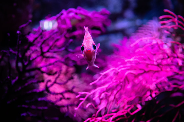 A fish swims in the Cineaqua Aquarium in Paris, France on July 27, 2020, which reopened its doors to visitors a few weeks ago. (Photo by Aurélien Morissard/ZUMA Press/Rex Fetures/Shutterstock)
