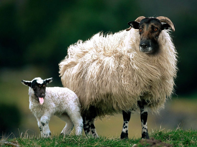 Cross between a dog and sheep – German Shepherds. (Photo by Sarah DeRemer/Caters News)