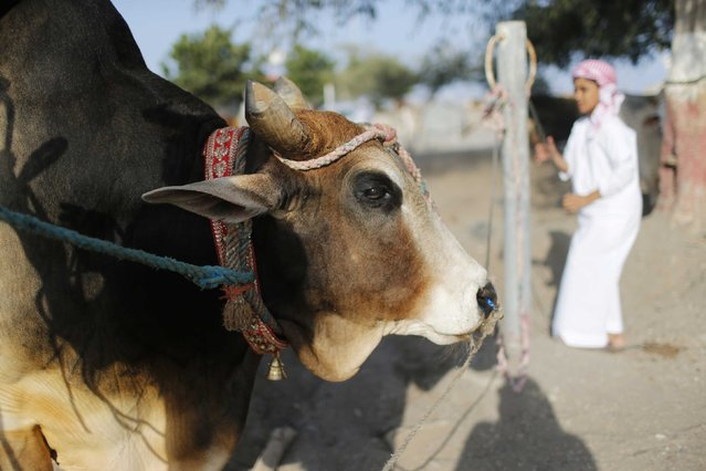 A boy ties his family bull upon arrival at a bullfight in the eastern emirate of Fujairah October 17, 2014. (Photo by Ahmed Jadallah/Reuters)