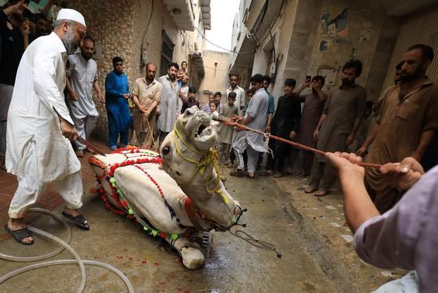 Men gather to slaughter a camel in celebration of Eid al-Adha in Peshawar, Pakistan on August 1, 2020. (Photo by Fayaz Aziz/Reuters)