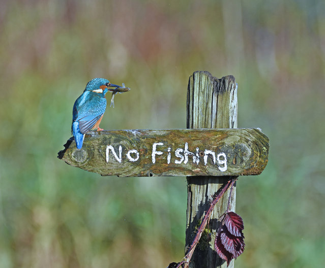 "It's a mocking bird! Near Kirkcudbright, Scotland. ""I was hoping a kingfisher would land on the ""No fishing"" sign but I was over the moon when it landed for several seconds with a fish. It then flew off with its catch. It appeared to be mocking the person who erected the sign!"". (Photo by Sally Lloyd-Jones/Comedy Wildlife Photography Awards 2020)"