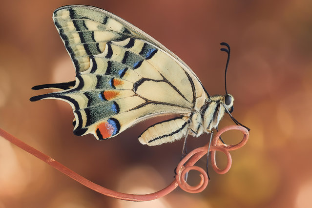 Butterflies and moths category winner: Swallowtail by Sara Jazbar. A swallowtail butterfly, newly hatched from the chrysalis and waiting for its wings to dry before its first flight. (Photo by Sara Jazbar/Luminar Bug Photographer of the Year 2020)