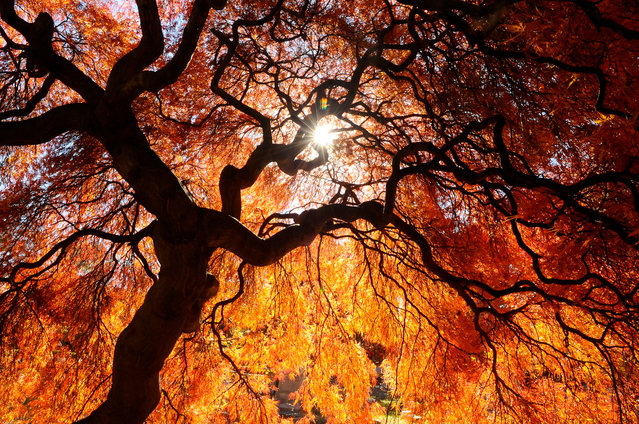 Sun shines through a Japanese Maple tree at Charles Baber Cemetery in Pottsville, Pa., on Wednesday, November 4, 2015. The cemetery is the largest green space and also serves as a garden park with tree-lined walking paths, a small spring fed pond and a meditation area. (Photo by Jacqueline Dormer/The Republican-Herald via AP Photo)