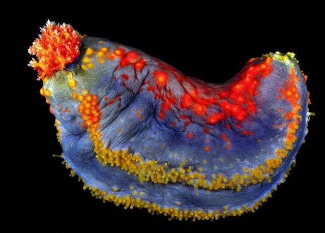 Sea apple – the most colourful sea cucumber in the world; Singapore Marine. (Arthur Anker)