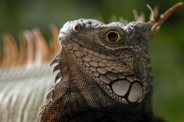 In this Saturday, December 13, 2014 photo, a green Iguana basks in the protected area of Cabezas de San Juan in Fajardo, Puerto Rico. The Cabezas de San Juan nature reserve has seven distinct coastal ecosystems and one of the few bioluminescent bays in the world. (Photo by Ricardo Arduengo/AP Photo)