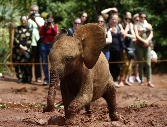 An orphaned baby elephant walks through mud as tourists take pictures at the David Sheldrick Wildlife Trust Nursery within Nairobi National Park, near Kenya's capital Nairobi April 21, 2013. The orphanage cares for baby elephants and sometimes baby rhinos which have been orphaned by poachers, or lost or abandoned for natural reasons. The orphaned elephants raised by the Trust are returned to join the elephant population in Tsavo National Park when they mature between eight to ten years old. (Photo by Darrin Zammit Lupi/Reuters)