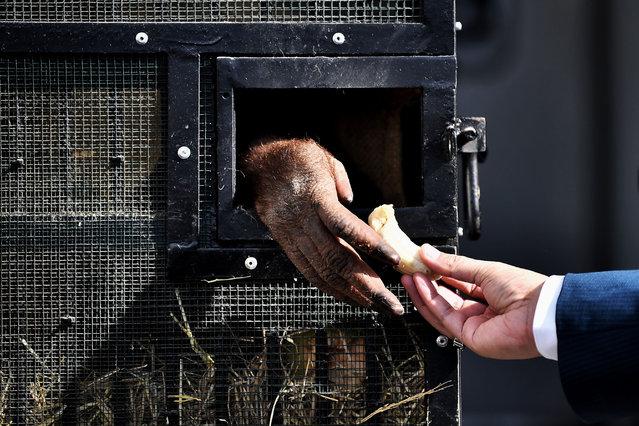 A Sumatran orangutan accepts a banana before being repatriated from Thailand to Indonesia after having been smuggled into the kingdom, at Suvarnabhumi Airport in Bangkok in December 17, 2020. (Photo by Lillian Suwanrumpha/AFP Photo)