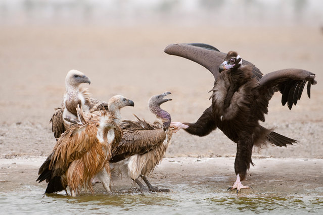 The white-backed vulture, long-billed vulture, slender-billed vulture and the Himalayan griffon have been decimated throughout south-east Asia over the past 20 years due to the widespread use of the anti-inflammatory cattle drug diclofenac. The drug causes kidney failure in birds that eat the carcasses of recently treated cattle. (Photo by Nature Picture Library/Alamy Stock Photo)
