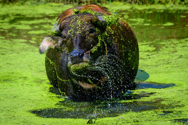 A water buffalo shakes water off its head as it cools down in a pond in the Ancient City Heritage Park in Samut Prakan, some 25km south of Bangkok on December 9, 2020. (Photo by Mladen Antonov/AFP Photo)