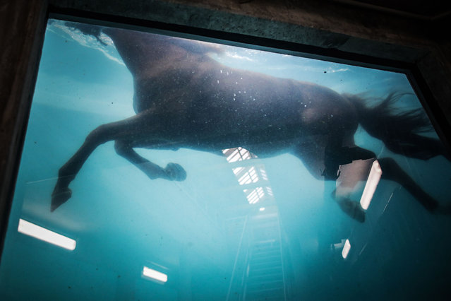 A horse swims in a panoramic swimming pool, dedicated to the examination of horses in an aquatic environment, at Kinesia, Goustrainville, northwestern France, a place dedicated to research in physiotherapy and functional rehabilitation in horses on October 22, 2020. (Photo by Lou Benoist/AFP Photo)