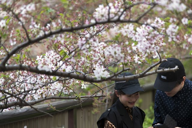 A woman reacts as a man shows a photo of her with cherry blossoms in Tokyo on Thursday, April 1, 2021. (Photo by Hiro Komae/AP Photo)