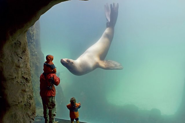 A friendly seal appears to kiss the glass of its aquarium tank as an excited young boy holds out a welcoming hand in Portland, Oregon, on August 28, 2013. (Photo by Renae Smith/Solent News)