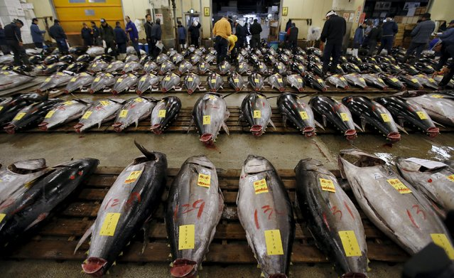 Wholesalers check the quality of fresh tuna displayed at the Tsukiji fish market before the New Year's auction in Tokyo, Japan, January 5, 2016. (Photo by Toru Hanai/Reuters)