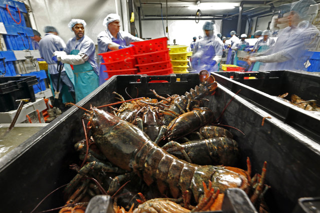 "In this June 20, 2014, file photo, lobsters are processed at the Sea Hag Seafood plant in St. George, Maine. More and more American and Canadian-caught lobsters have been turning up at fancy restaurants in China, marketed as ""Boston lobster"", say Maine-based processors. One processing firm owner says it's now the biggest live lobster important day of the year after Christmas in Europe. (Photo by Robert F. Bukaty/AP Photo)"
