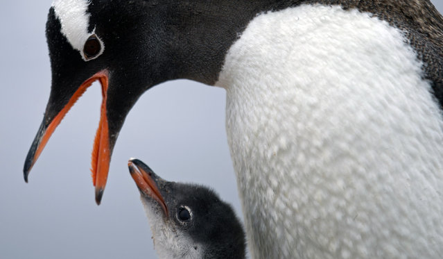 "In this January 22, 2015 photo, a Gentoo penguin feeds its baby at Station Bernardo O'Higgins in Antarctica. ""To understand many aspects in the diversity of animals and plants it's important to understand when continents disassembled"", said Richard Spikings, a research geologist at the University of Geneva. (Photo by Natacha Pisarenko/AP Photo)"
