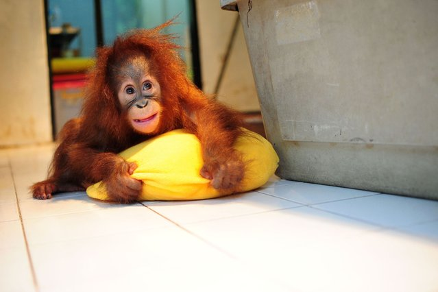 A six month-old baby Orangutan is seen in a nursery room at the Taman Safari zoo of Cisarua, West Java, Indonesia, on September 24, 2013. (Photo by Caters News)
