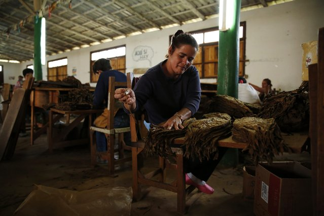 A woman sorts tobacco leaves at a processing plant in the valley of Vinales, in the western Cuban province of Pinar del Rio January 28, 2015. (Photo by Pilar Olivares/Reuters)