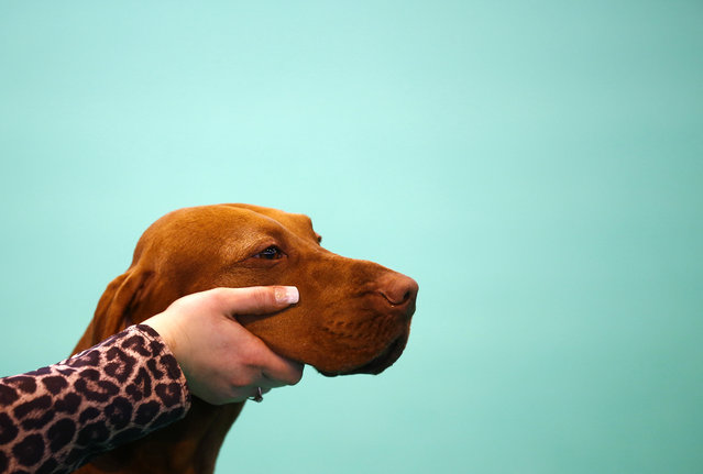 A Hungarian Vizsla is shown to the judge during the first day of the Crufts Dog Show in Birmingham, central England, March 5, 2015. (REUTERS/Darren Staples)