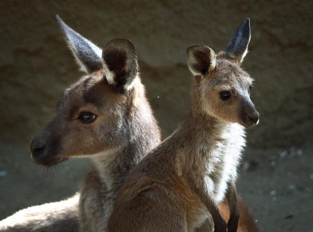 A mother Kangaroo and her newly emerged unnamed joey relax in the Australia section of the Los Angeles Zoo, California on March 12, 2015. The kangaroo and koala joeys which are between 7-9 months old are finally emerging from their mothers pouches as spring weather arrives in the city. (Photo by Mark Ralston/AFP Photo)