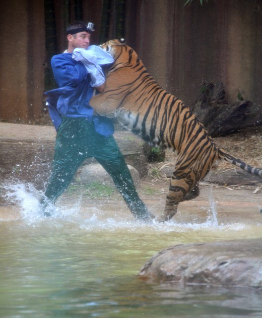 In this photo taken Tuesday, November 26, 2013, a Sumatran tiger leaps on Australia Zoo handler Dave Styles in an enclosure at a zoo in Sunshine Coast, Australia. Styles who suffered puncture wounds to his head and shoulder was rescued by fellow workers at the zoo. He is now recovering following surgery after being airlifted to a hospital. (Photo by Johanna Schehl/AP Photo)