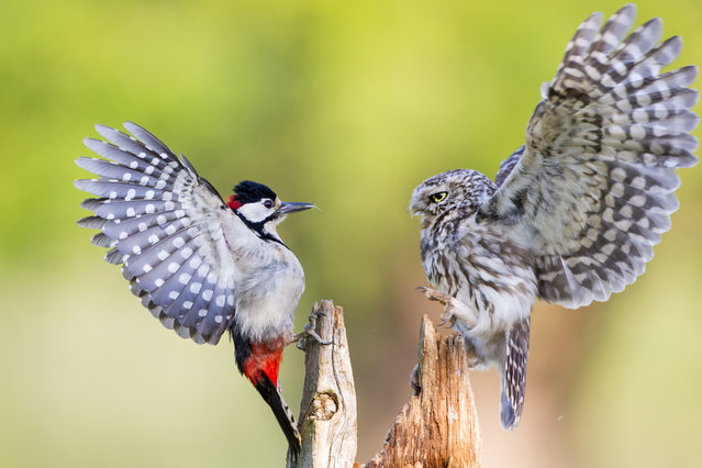 """Stand Off"". A Little Owl (R) defends its feeding position from a Great spotted woodpecker (L) with both birds showing a their full colours with dramatic full wing extensions. Photo location: Droitwich, UK. (Photo and caption by Ian Schofield/National Geographic Photo Contest)"