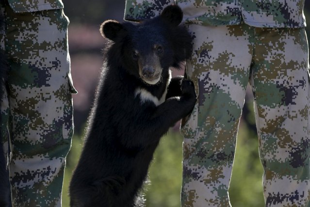 A bear cub leans on a breeder's leg during a rescued animal release event, in Kunming, Yunnan province, April 2, 2015. About 93 wild animals rescued from local markets and restaurants recently by police and animal protection group are being transported to a national park in Puer to be released back to the wild, according to local media. (Photo by Wong Campion/Reuters)