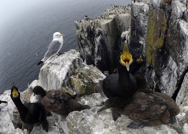 A shag protects its young on the Farne Islands off the Northumberland coast, near Seahouses, northern England, July 8, 2013. Shags are the largest of the seabirds that breed on the islands. (Photo by Nigel Roddis/Reuters)