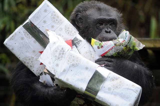 A chimpanzee opens a package filled with treats and wrapped as a Christmas gift at the zoo in La Fleche, western France, on December 23, 2013. (Photo by Jean-Francois Monier/AFP Photo)