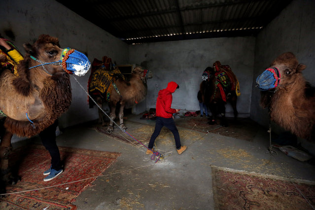 Wrestling camels wait ahead of the annual Selcuk-Efes Camel Wrestling Festival in the Aegean town of Selcuk, near Izmir, Turkey, January 14, 2017. (Photo by Murad Sezer/Reuters)