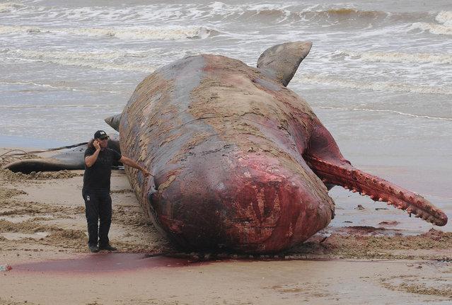 A municipal worker talks on a mobile phone next to a whale on January 12, 2014 as its body is being removed from the water a day after appearing at the shore of Carrasco beach in Montevideo, Uruguay. (Photo by Miguel Rojo/AFP Photo)