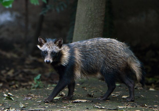 View of a raccoon dog or Tanuki (Nyctereutes procyonoides) at the Chapultpec Zoo in Mexico City on August 06, 2015. (Photo by Alfredo Estrella/AFP Photo)