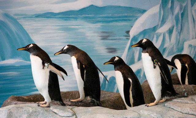 Long-tailed Gentoo Penguins walk in the penguinarium at the Royev Ruchey zoo in Krasnoyarsk, Russia, March 20, 2012. (Photo by Ilya Naymushin/Reuters)