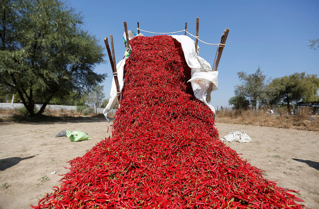 A tractor unloads red chillies at a farm on the outskirts of Ahmedabad, India, February 10, 2017. (Photo by Amit Dave/Reuters)